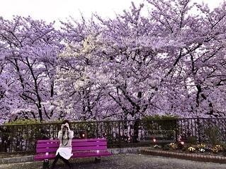桜 カメラ女子の写真・画像素材[3386499]