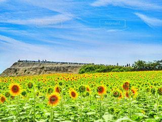 ひまわり畑の写真・画像素材[3494375]