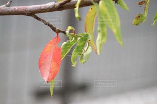 木からぶら下がってりんごの写真・画像素材[841219]