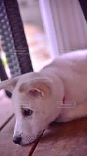 犬の写真・画像素材[496410]