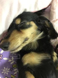 #ミニチュアダックスフント,#犬寝顔