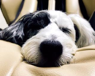 寝顔,可愛い,我が家のワンコ