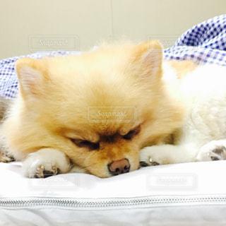 犬,ポメラニアン,寝顔