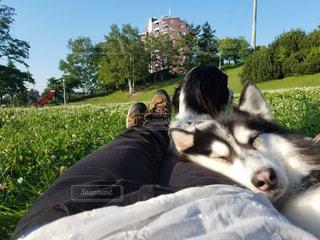 犬,寝顔,お昼寝,ハスキー