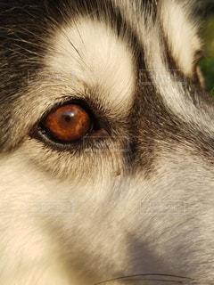 犬,白黒,わんこ,モノトーン,シベリアンハスキー,愛犬,目,ハスキー