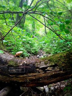 フォレスト内のツリーの写真・画像素材[965864]