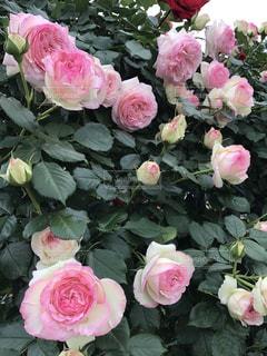 たわわに咲く薔薇の写真・画像素材[847150]