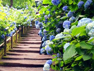 花,屋外,緑,光,紫陽花,ブルー,青紫色