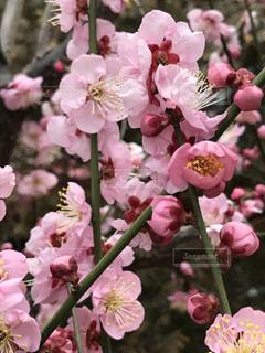 自然,花,冬,木,屋外,ピンク,梅