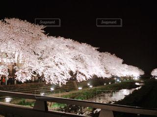 自然,花,春,桜,夜,屋外,ピンク,川,ライトアップ
