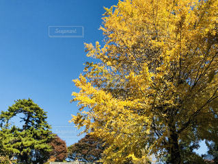 自然,空,秋,紅葉,木,青空,黄色,鮮やか,イチョウ,快晴,秋空