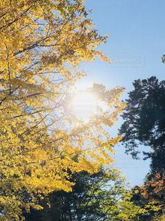 空,秋,紅葉,屋外,太陽,青空,黄色,鮮やか,樹木,イチョウ,快晴,秋空,お日さま
