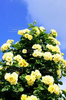 花の写真・画像素材[594972]