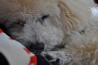 犬,トイプードル,犬の寝顔
