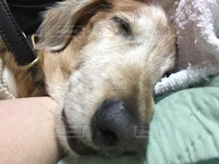 犬,動物,寝顔,ダックスフンド