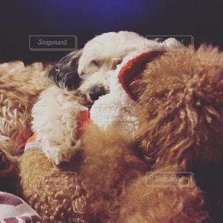 犬,仲良し,寝顔,マルチーズ,ダックス,レッド,ミックス,トイ・プードル,同い年,マルックス