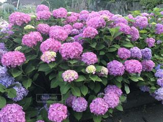 花,あじさい,紫陽花,梅雨,アジサイ