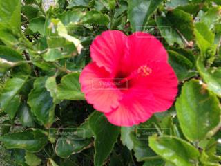 緑の葉と赤い花の写真・画像素材[771210]
