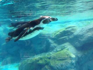 水のプールで泳ぐシロクマの写真・画像素材[771262]