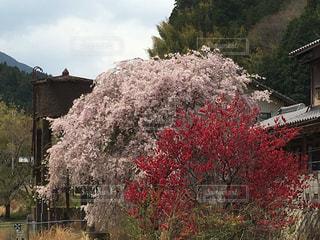 給水塔と桜の写真・画像素材[1131585]