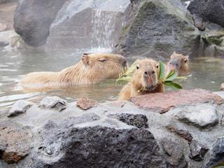 水のホッキョクグマのグループの写真・画像素材[722273]