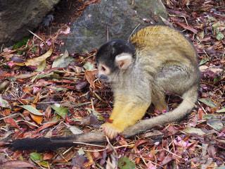 岩の上に座っている猿の写真・画像素材[722277]