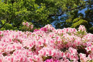 花,ピンク,ツツジ,桃色