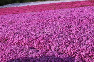 花,ピンク,芝桜,桃色,pink