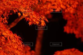 紅葉のライトアップの写真・画像素材[856909]