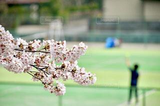 テニスコートに咲く桜🌸の写真・画像素材[4294759]