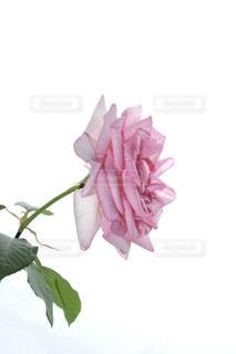 花,ピンク,薔薇