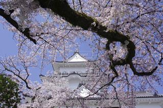 桜の写真・画像素材[544853]