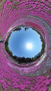 芝桜の写真・画像素材[552298]