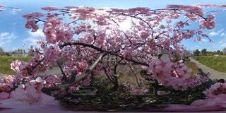 桜の写真・画像素材[553482]