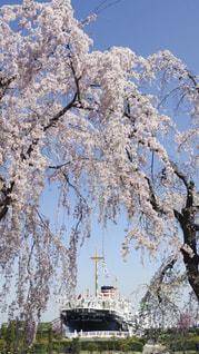 氷川丸と枝垂れ桜の写真・画像素材[1110196]