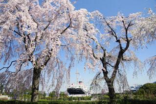 氷川丸と枝垂れ桜の写真・画像素材[1127503]