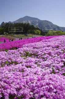 背景の山をフィールドに紫の花の写真・画像素材[1138902]