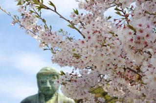 桜と大仏の写真・画像素材[3082188]