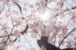風景,桜,太陽,逆光,一眼レフ