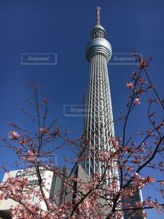 桜の写真・画像素材[575248]