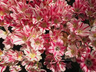 ピンクの花で一杯の花瓶の写真・画像素材[843452]
