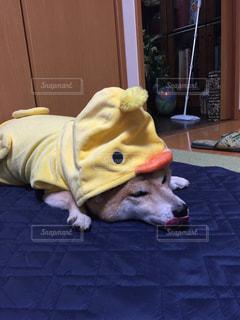 横たわる犬の写真・画像素材[849107]