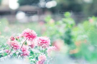 花,ピンク,植物,flower,ダリア,ダリア園,PassMe,町田薬師池公園四季彩の杜 ダリア園,町田ダリア園