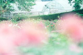 ダリアの花園の写真・画像素材[787589]