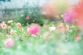 ダリアの花園の写真・画像素材[787592]