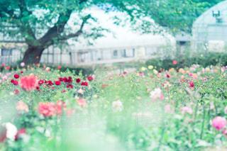 ダリアの花園の写真・画像素材[787594]