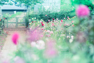 ダリアの花園の写真・画像素材[787606]