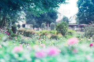 ダリアの花園の写真・画像素材[787648]