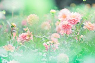 ピンクのダリアの写真・画像素材[787651]