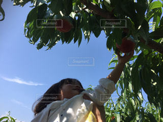 桃狩りをする子どもの写真・画像素材[1363279]